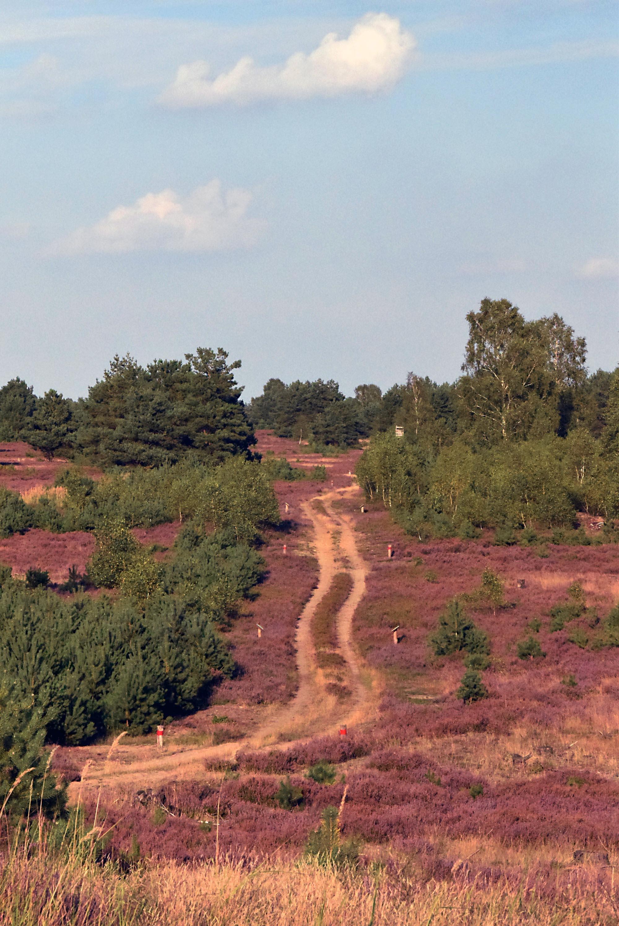 Blühende Heidelandschaft. In der Mitte befindet sich ein Weg.